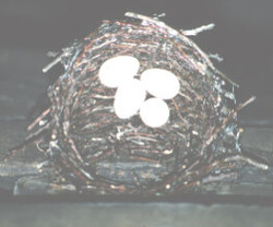 Chimney swift nest with eggs